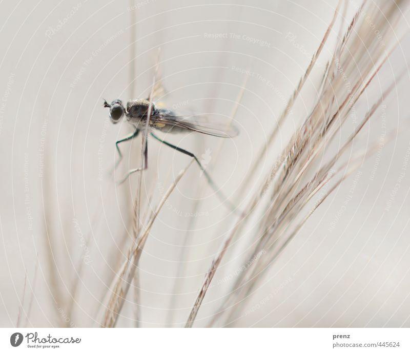 insectus kleinus Natur Tier schwarz Umwelt grau Fliege Insekt Schnake