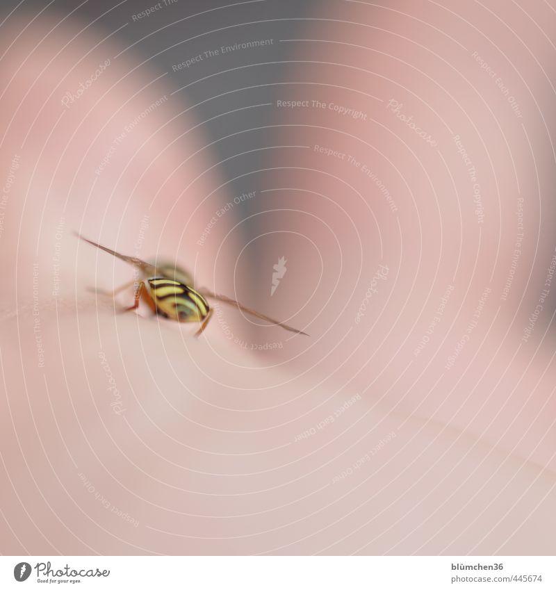 Ein schöner Rücken... Tier Schwebfliege Insekt Fliege Zweiflügler 1 berühren fliegen sitzen ästhetisch elegant klein braun gelb bestäuben Handfläche lutschen