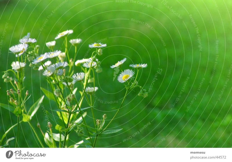 ein hauch von grün weiß Sommer Wiese Blüte Gras Garten Heilpflanzen