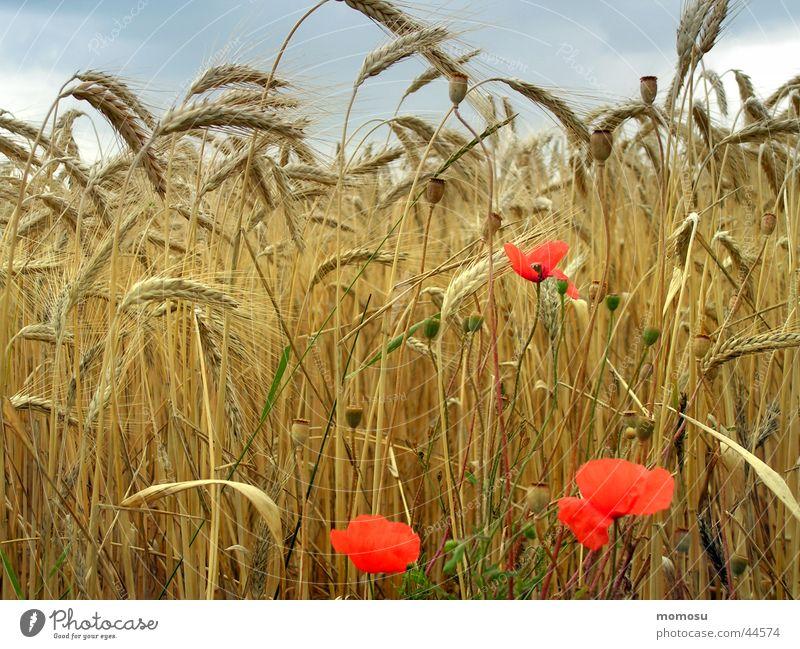 blick - feld Feld Mohn reif Blume Blüte Weizen Wolken Ähren Sommer Getreide Ernte Himmel