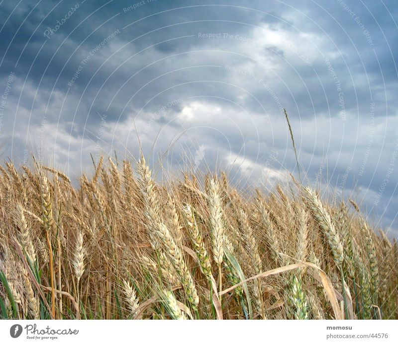 bewölktes korn Sommer Wolken dunkel Getreide Gewitter Korn