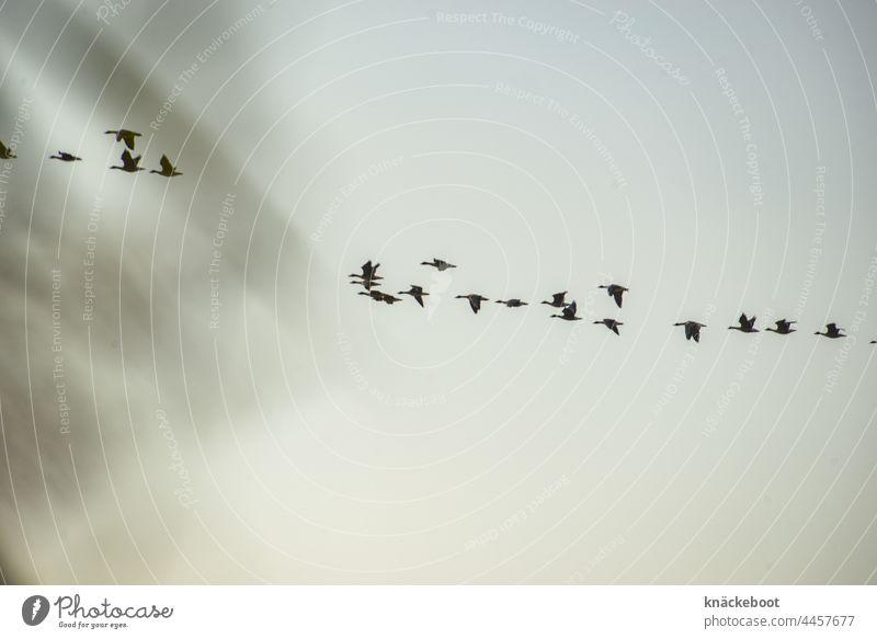 wildgänse graugänse Außenaufnahme Gänse fliegen Wildtier Zugvogel Vogel Schwarm Vogelschwarm Himmel Tiergruppe Zugvögel Vogelzug Herbst Freiheit Natur frei