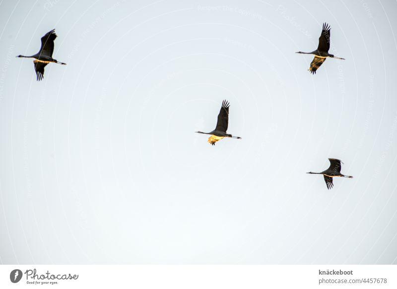 zugvögel Kraniche fliegen Himmel Zugvogel Vogel Wildtier Freiheit Schwarm Zugvögel Vogelflug Vogelschwarm frei Herbst Luft Farbfoto Natur Tier Vogelzug Vögel