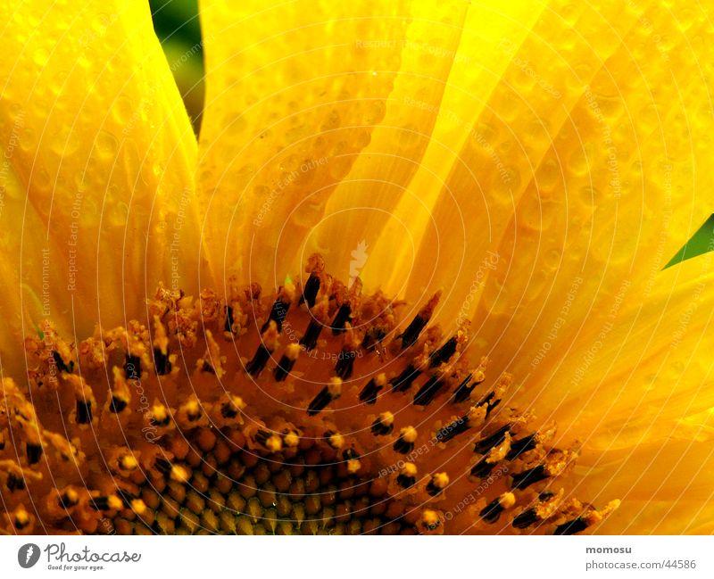 sunflower in the rain Sommer Blatt gelb Blüte Regen Feld Wassertropfen Sonnenblume