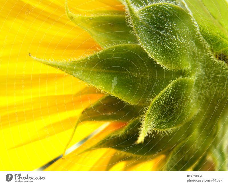 der sonne entgegen Sonne Sommer Blatt gelb Blüte Feld