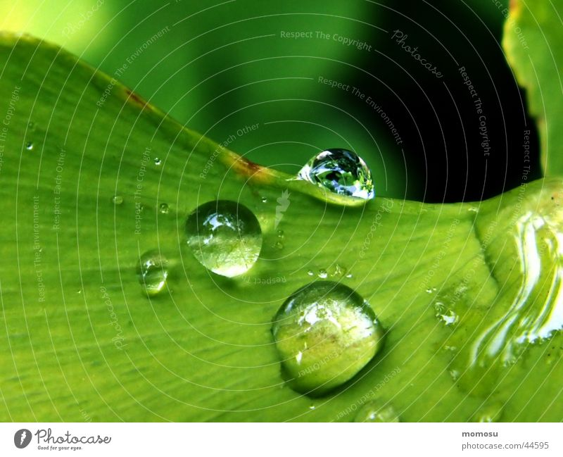 drops on my ginkgo Baum grün Blatt Regen Wassertropfen