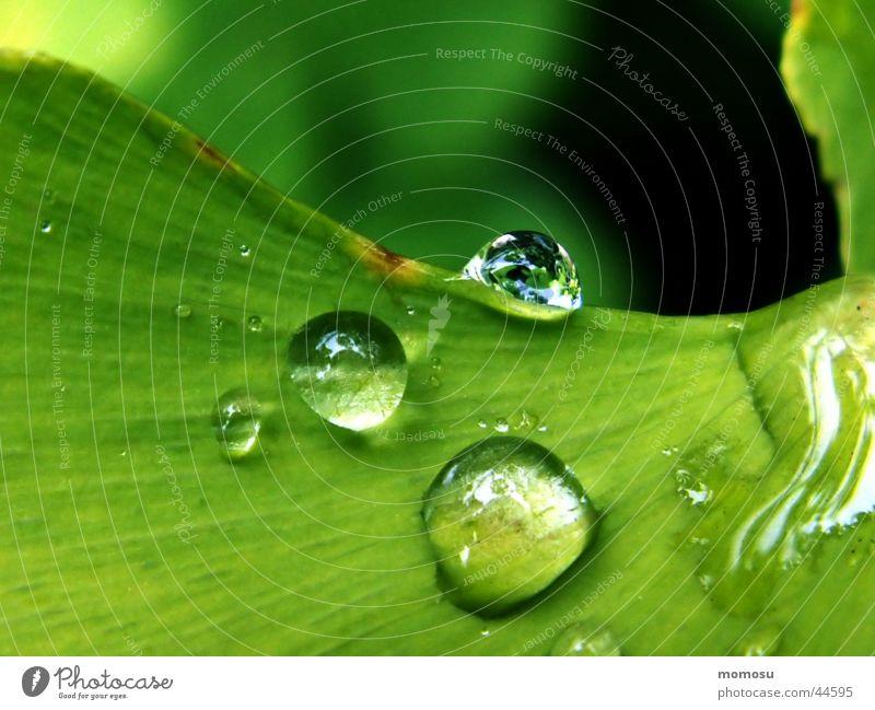 drops on my ginkgo Blatt Baum grün Regen Wassertropfen Detailaufnahme