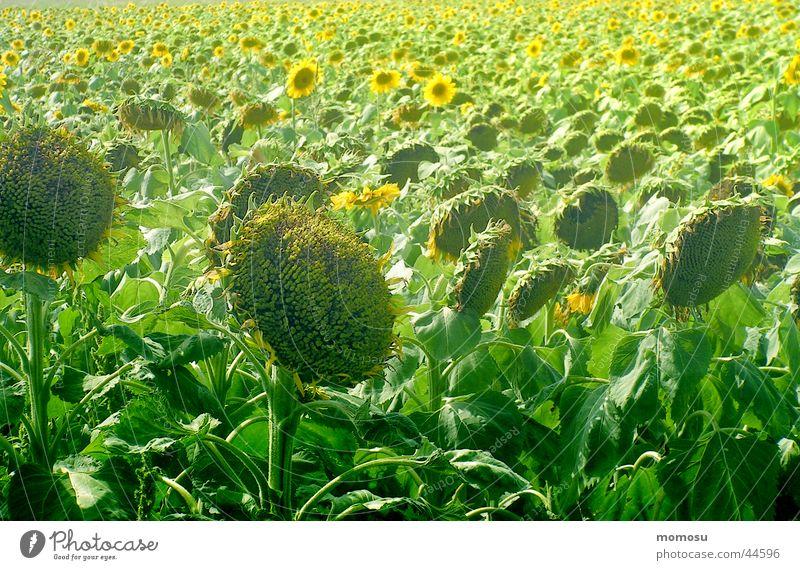 ...alles hat seine zeit Sommer Blatt Blüte Feld Ernte Sonnenblume