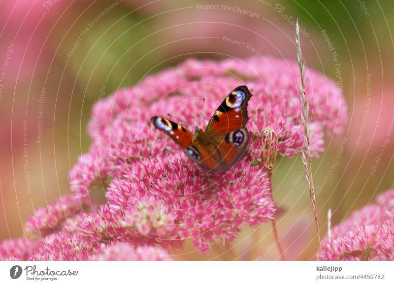 flieg nicht weg, du schöner sommer. Schmetterling Pfauenauge Blüte Blume Natur rosa Kitsch Nektar Flügel Pflanze Farbfoto Tier Tierporträt fliegen Garten Sommer