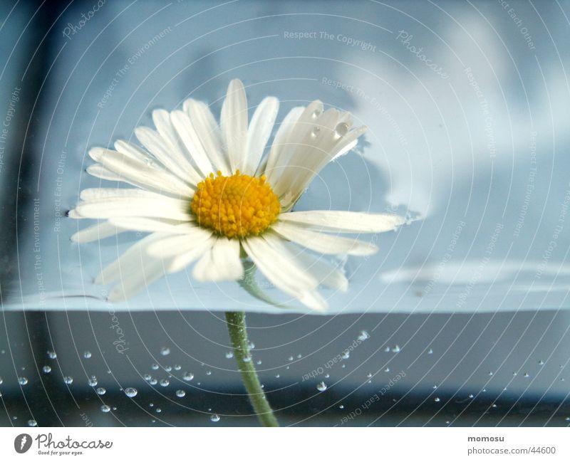 wasserblümchen Blume Gänseblümchen Blüte Blatt Wasser blasen