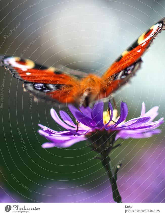 letzter Sommergruß Schmetterling Herbst Astern Herbstaster bunt Farbe Tiefenschärfe Blüte Blume Natur Pflanze Feuerfalter Falter Insekt Makroaufnahme Unschärfe