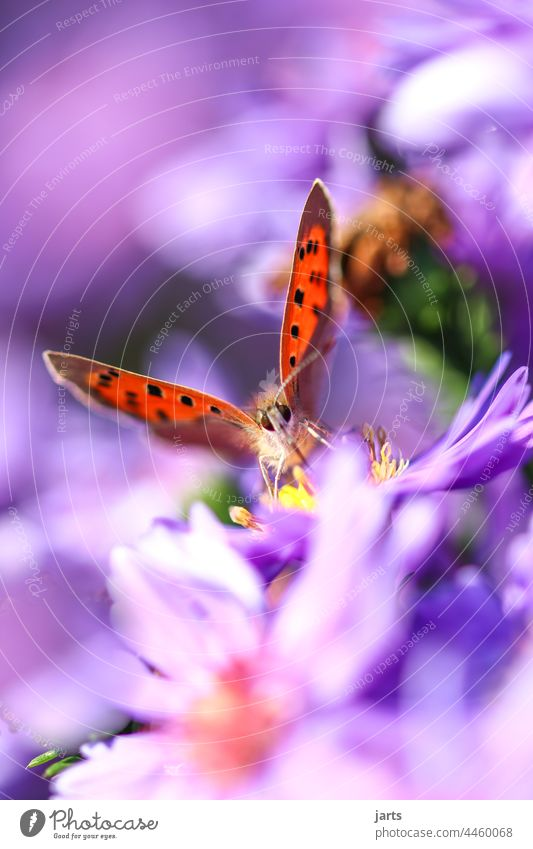 kleiner Schmetterling auf einer Herbstaster Astern bunt Farbe Tiefenschärfe Blüte Blume Natur Pflanze Feuerfalter Falter Insekt Makroaufnahme Unschärfe