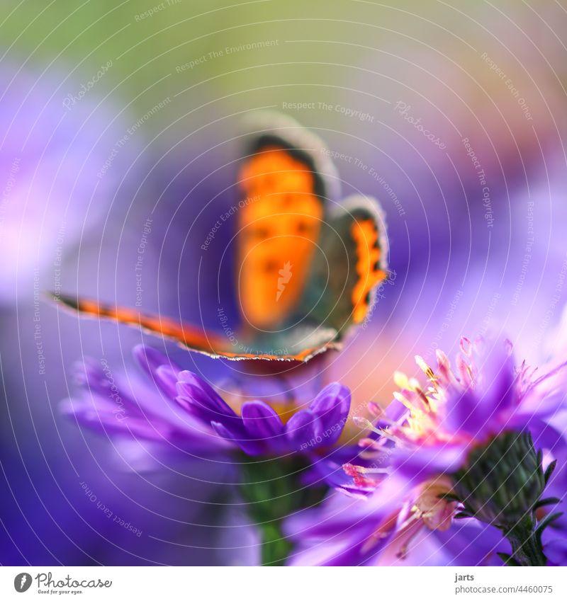 Schmetterling auf einer Herbstaster Astern bunt Farbe Tiefenschärfe Blüte Blume Natur Pflanze Feuerfalter Falter Insekt Makroaufnahme Unschärfe Tageslicht