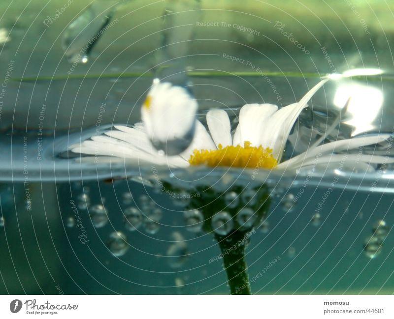 gänseblümchen im aquarium Wasser Blume Blatt Blüte blasen Gänseblümchen