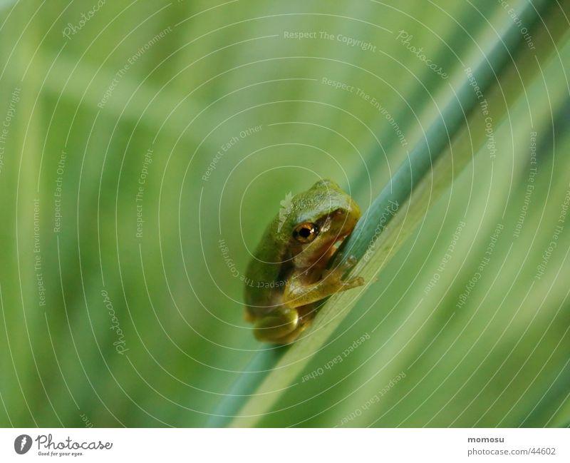 Babyfrosch grün Gras Frosch Laubfrosch