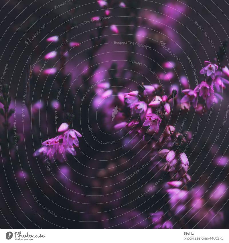 Heideblüte abstrakt in dunklem Licht Heidestrauch blühende Heide Heide blüht zarte Blüten Sommerheide Heidekraut Besenheide Calluna Calluna vulgaris Wildpflanze