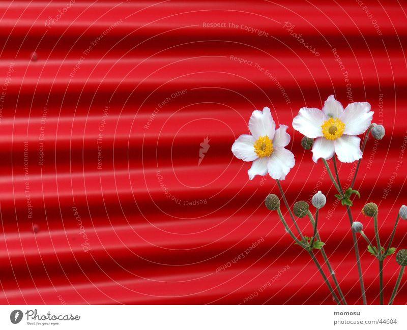 kontrast Herbstanemone Anemonen Wellblech Wand Blume Blüte rot rosa Kontrast