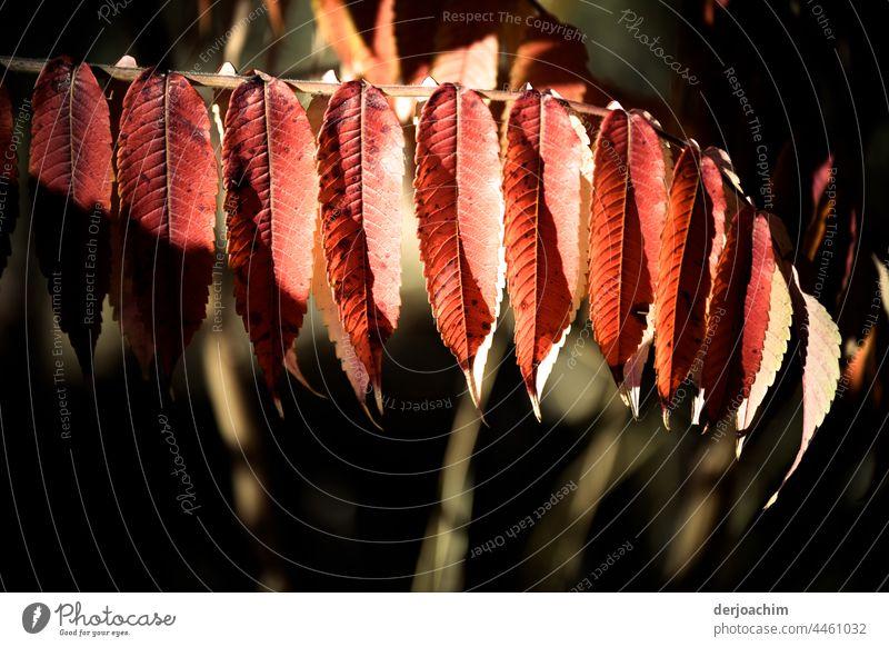 Herbstfarben, oder Altweibersommer. Blätter in wundersschönen Rot weiß Tönen am Ast. Blätter Winter Saison Baum Laubwerk Blatt im Freien Hintergrund natürlich