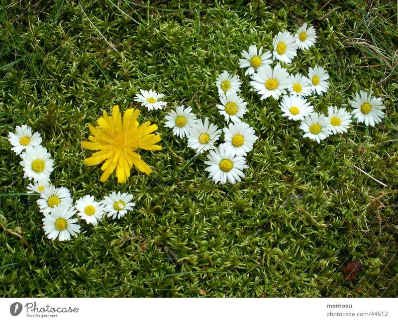 love.... Blume Liebe Wiese Gras Löwenzahn Gänseblümchen