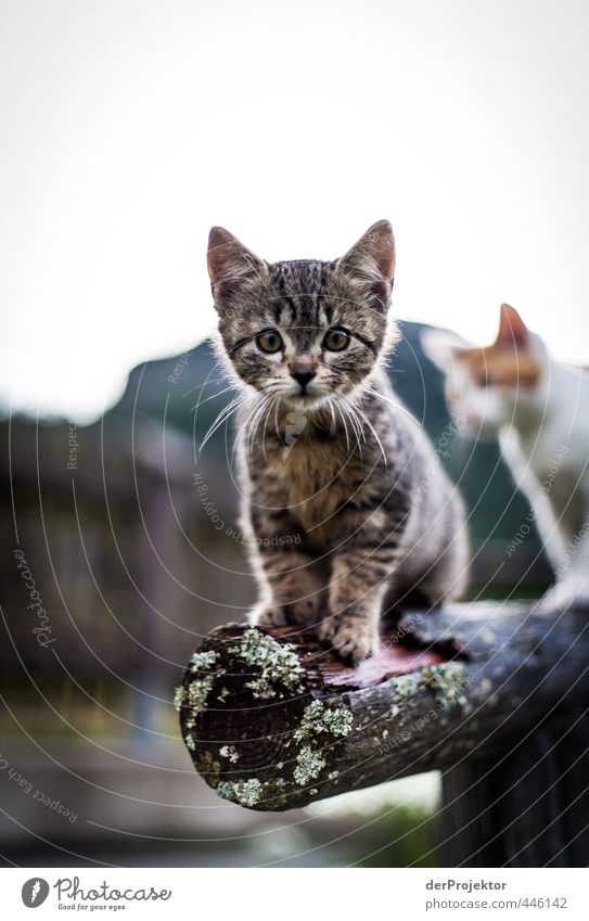 Miez, Miez - Kätzchen gehen immer Teil 2 Katze Natur schön Landschaft Freude Tier Umwelt Berge u. Gebirge Tierjunges Gefühle Glück wild Zufriedenheit
