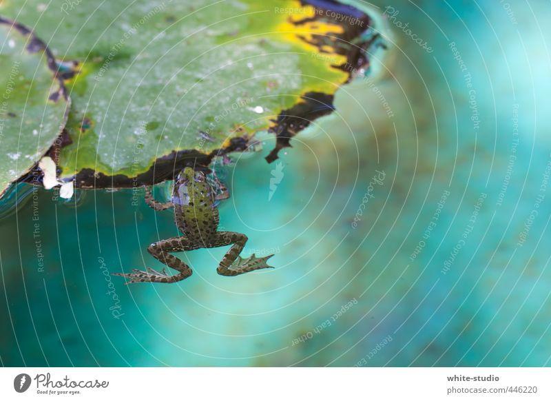 Erfrischung Seerosenblatt Frosch Schwimmen & Baden Brustschwimmen Wasser Erholung Sonnenbad sommerlich Sommerurlaub Kröte Froschkönig Froschschenkel Teich