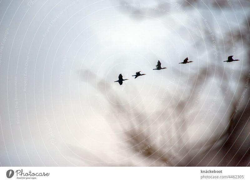 komorane Komorane Himmel Zugvogel Herbst fliegen Schwarm Vogel Wildtier Vogelschwarm Tiergruppe Vogelflug Zugvögel Luft Natur