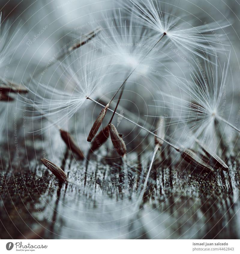 Makro des Löwenzahnsamen im Frühling Blume Pflanze Samen weiß geblümt Flora Garten Natur natürlich schön dekorativ Dekoration & Verzierung abstrakt texturiert