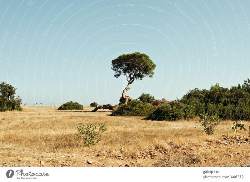 Baum im Sommer loben Natur Landschaft Urelemente Erde Sand Himmel Wolkenloser Himmel Sonne Pflanze Wildpflanze Pinie Küste Strand Meer exotisch natürlich