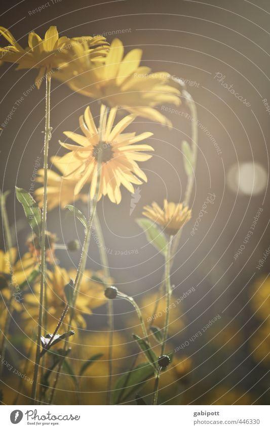 Sommerspätglück Natur Landschaft Sonnenlicht Schönes Wetter Pflanze Blume Sträucher Blatt Blüte Wildpflanze Topfpflanze Feld Blühend Duft leuchten Wärme braun