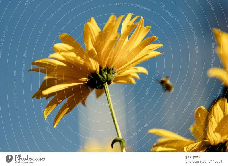Sommerende Natur Pflanze Himmel Sonne Blume Blatt Blüte Wildpflanze Sonnenblume Blühend Duft Freundlichkeit Fröhlichkeit positiv Wärme blau gelb Lebensfreude