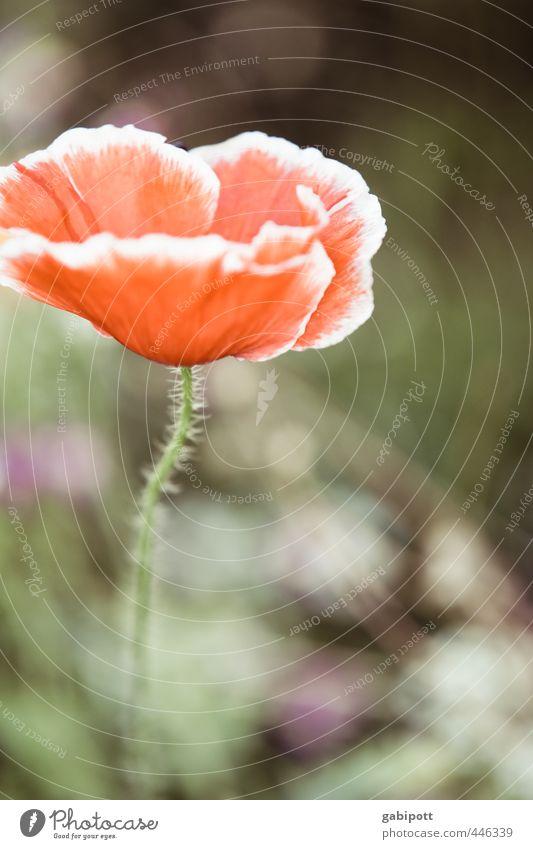 Das etwas andere Mohntagsportrait Natur schön grün Pflanze rot Erholung ruhig Blume Blatt Umwelt Blüte natürlich wild Schönes Wetter Sträucher Fröhlichkeit