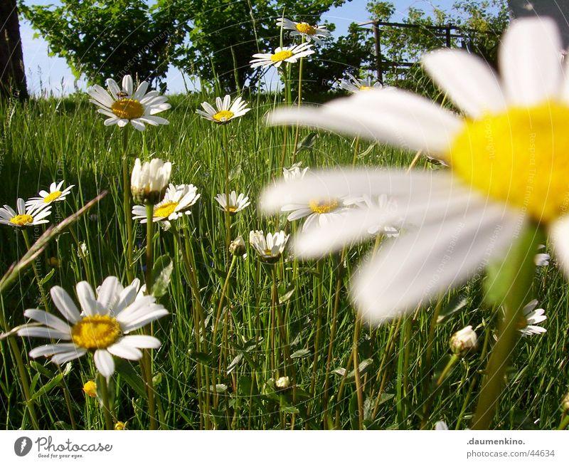 Margeritenreich ° 1 Wiese Blume weiß gelb grün Baum nah Gras Blüte Frühling Sommer Juni Juli Johannisbeeren Blatt Biene Natur margerieten Himmel blau Pflanze