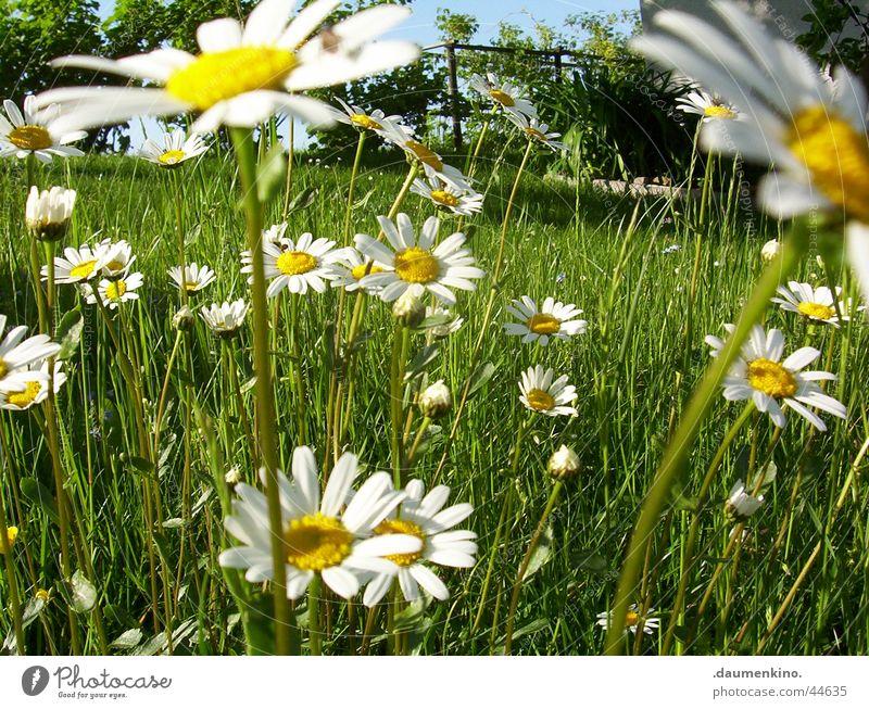 Margeritenreich ° 2 Wiese Blume weiß gelb grün Baum Blüte Frühling Sommer Juni Juli Sinnesorgane Zufriedenheit Natur margerieten Himmel Freiheit farbpracht