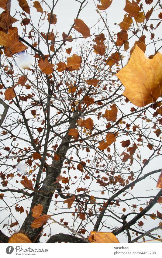herbstbaum mit vielen braungefärbten blättern Baum Herbstbaum Blätter Laub Himmel Äste Natur Außenaufnahme Menschenleer Herbstlaub Blatt Wald Herbstbeginn