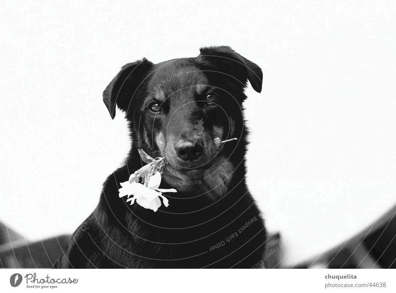 der charmeur Blume Hund Rose süß Valentinstag