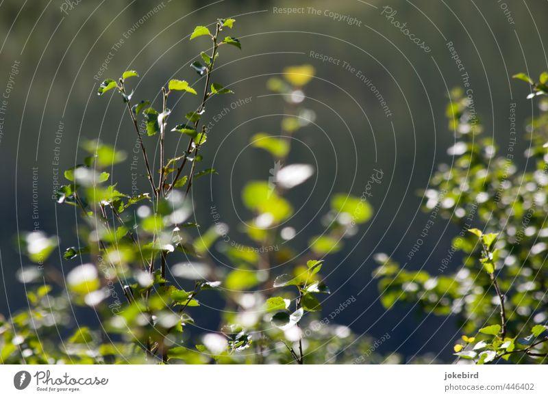 Birkenwäldchen Baum Birkenblätter Birkenwald Zweige u. Äste Blatt Laubbaum grün Natur Farbfoto Außenaufnahme Menschenleer Textfreiraum oben Hintergrund neutral