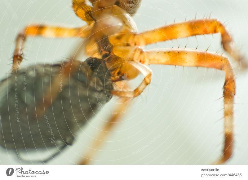 Gartenkreuzspinne Tier Essen Erfolg Ernährung Macht Gebiss Insekt Fressen Aggression Umarmen Spinne füttern Spinnennetz Beute Nahrungssuche Feindschaft