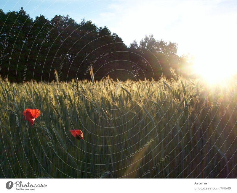 shining so bright Mohn Feld Baum Licht blenden rot weiß grün Sommer Physik frisch Sonnenstrahlen 2 schön hell Himmel blau perfektes zusammenspiel Farbe Wärme