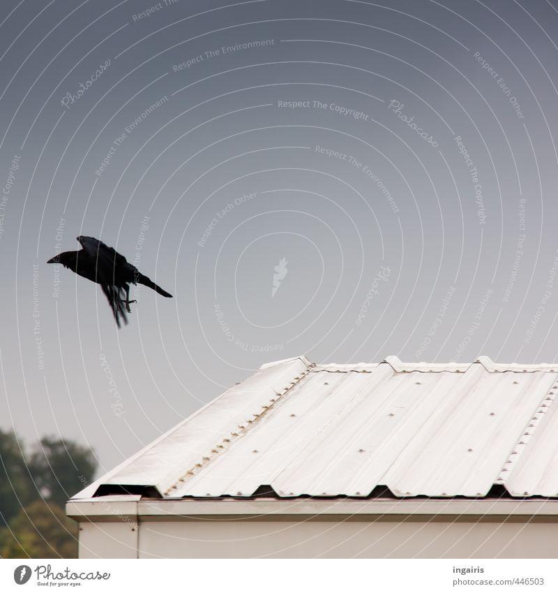 ....hinterherflieg! Umwelt Himmel Blechdach Dach Tier Wildtier Vogel Rabenvögel Krähe 1 fliegen ästhetisch dunkel blau grün silber weiß Stimmung gefährlich