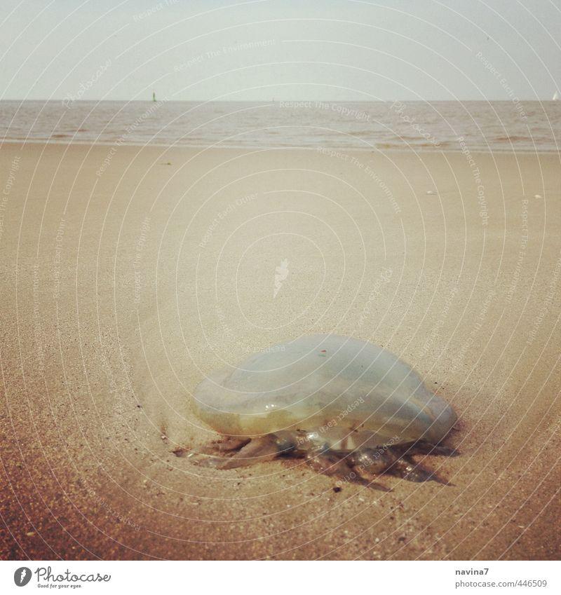 gestrandet Natur Wasser Strand Qualle 1 Tier Sand Schwimmen & Baden hängen liegen warten bedrohlich weich Fernweh Einsamkeit Ende Horizont Risiko skurril