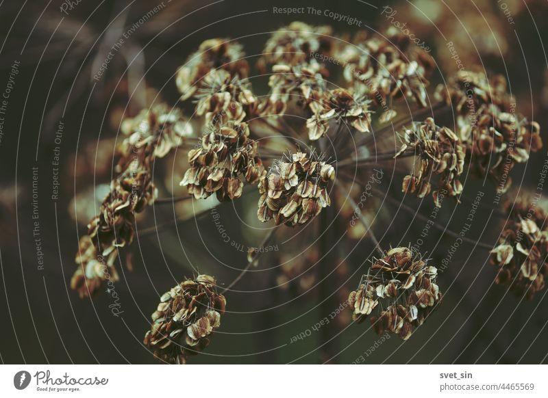 Trockener doldenartiger Pflanzenkopf mit Samen im Freien, Nahaufnahme. Brauner Herbsthintergrund. Regenschirm trocknen braun Natur Saatgut fallen herbstlich