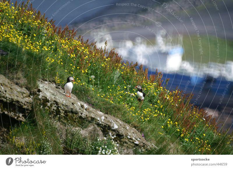 Isländische Klippe Natur Wolken Tier Vogel Island Klippe