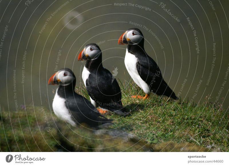 Was guckst du? Tier Verkehr Island Papageitaucher Vogelparade