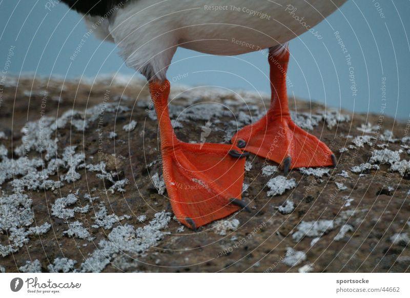 Kalte Füsse? Tier Vogel Verkehr Island kopflos Papageitaucher