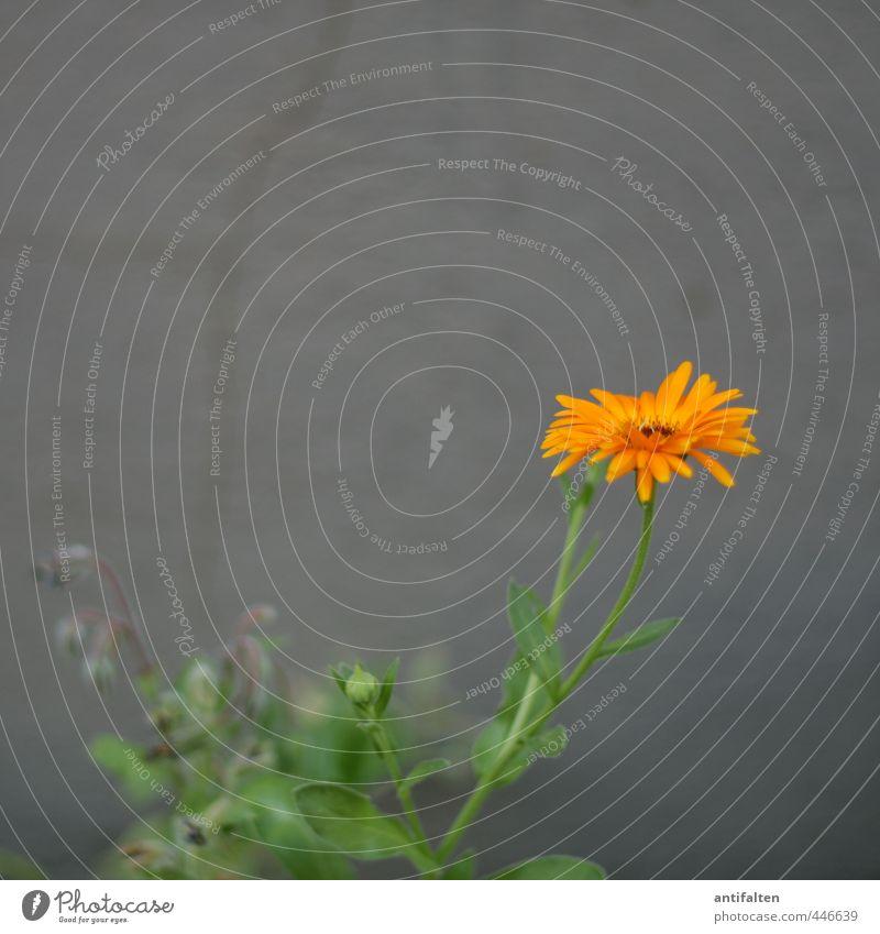 Farbe in den grauen Alltag bringen Natur Pflanze Wetter Schönes Wetter Blume Blatt Blüte Gerbera Astern Garten Stadt Stadtrand Mauer Wand Fassade Riss Stein