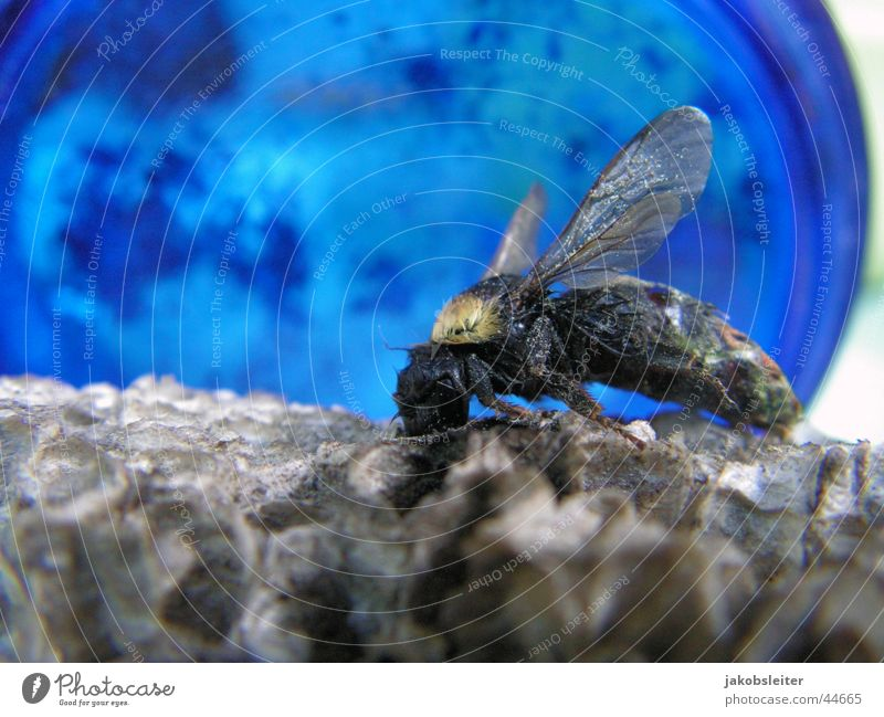 Flieger Horst Hummel Nest Insekt Makroaufnahme Tod blau