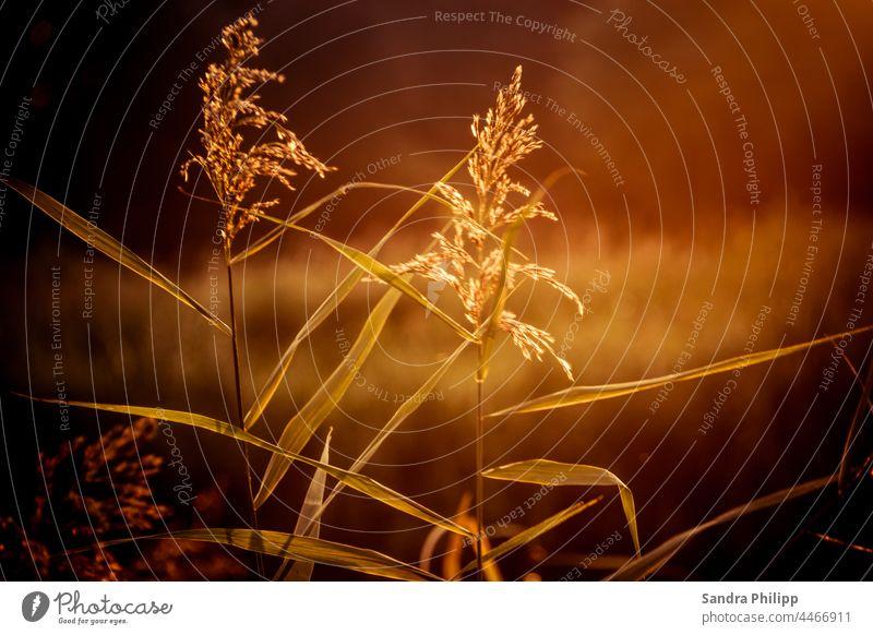 Zwei Gräser im goldenem Abendlicht Sonnenuntergang Sonnenlicht Gegenlicht Licht Außenaufnahme Schönes Wetter Pflanze Landschaft Farbfoto Lichterscheinung