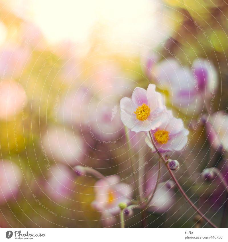 herbstlicher Sommergruß Natur Pflanze Tier Herbst Blume Blüte Anemonen Herbstanemone Stauden Garten Park Blühend Duft verblüht Wachstum schön natürlich gelb