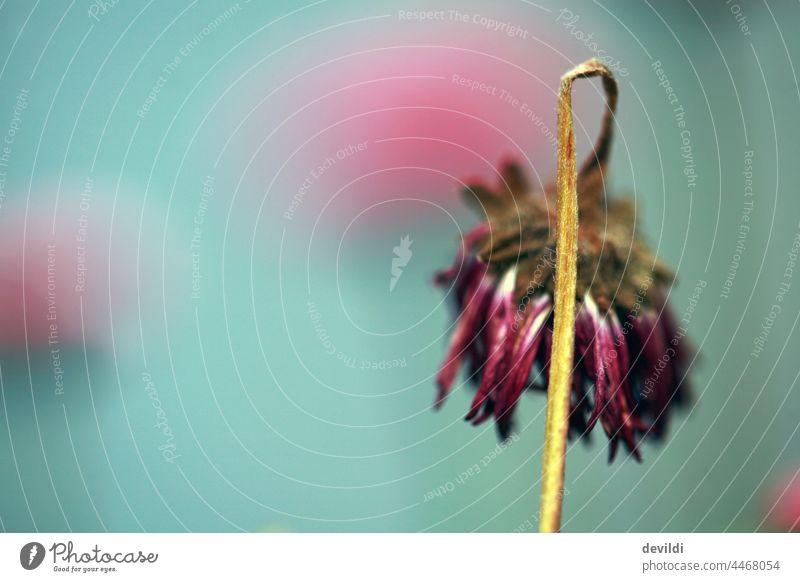 verblühte Bellis Gänseblümchen Natur Blume Blühend Nahaufnahme schön Pflanze Garten Sommer Blüte Außenaufnahme grün Schwache Tiefenschärfe Frühling