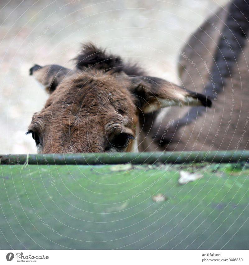 Guck doch mal, Muli grün Sommer Tier Auge lustig grau natürlich braun Park Wildtier Tourismus Ausflug beobachten Rücken Pferd Fell